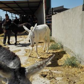 burro con malformacion en sus patas delanteras