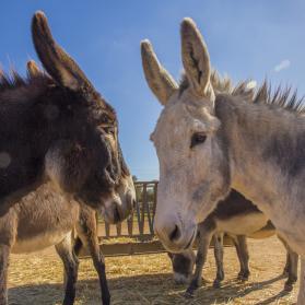 Curso de entrenamiento y etología del burro